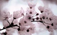 fleurs cerisier japon - Recherche Google