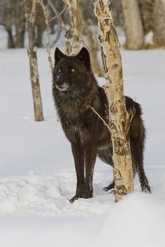 by Samuel Maglione on Flickr ~ Gray Wolf (Canus lupus), Captive, Montana*