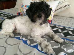 Sprocket Maltese x Poodle | Pawshake