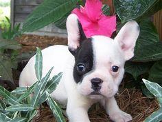 bulldog frances - Pesquisa do Google