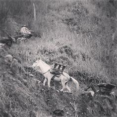 Mulas cargadas escalando las montañas del Quindio. La cotidianidad de la caficultura colombiana. Foto gracias a http://instagram.com/juanicolasjara