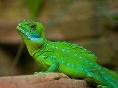 Stirnlappenbasilik: Das Reptil in leuchtend grün kann sogar übers Wasser gehen – Bild: Shutterstock / Krzysztof Wiktor    www.einfachtierisch.de