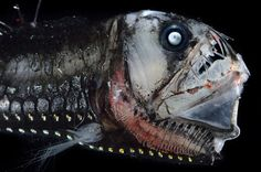 See the Weird and Fascinating Deep-Sea Creatures That Live in Constant Darkness | Atlas Obscura