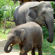 Whether or not you consider the elephant your spirit animal, riding high atop one of those majestic lumbering creatures is a quintessentialSoutheast Asia experience. Elephant rides are one of the major sources of tourism money in Northern Thailand—but unfortunately, the traditional methods for b...