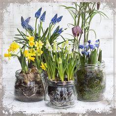 Bulbs blooming in glass vases