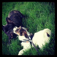 heididahlsveen:  #atsjoo and the #frenchbulldog Oskar #dog #dogs #dogstagram #puppy #valp #hund #hunder