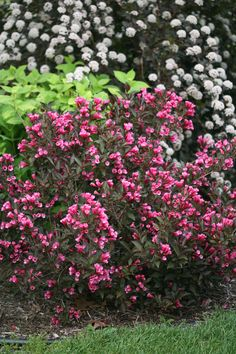 In Bloom: Weigela - Flower Garden İdeas İn Front Of House Shrubs For Landscaping, Planting Shrubs, Garden Shrubs, Flowering Shrubs, Garden Beds, Garden Plants, Zone 4 Perennials, Deer Resistant Perennials, Full Sun Perennials
