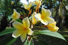 Want to learn how to grow beautiful plumeria trees? Get some great tips and tricks by reading all about plumeria care here! Plumeria Care, Plumeria Flowers, Fruit Flowers, Flower Pots, Container Plants, Container Gardening, Gardening Tips, Flower Pot Design, Potted Trees