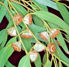 Known as the Tasmanian bluegum or Southern blue gum, it is one of the most widely cultivated trees native to Australia. Cactus Seeds, Tree Seeds, Protea Art, Native Australians, Australian Plants, Beautiful Flowers Garden, Nature Plants, Herbs, Naturaleza
