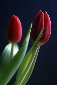 'Tulpenfrühling' von Heidrun Lutz bei artflakes.com als Poster oder Kunstdruck $18.03