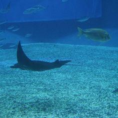 【neovenus0312】さんのInstagramをピンしています。 《沖縄らしい一枚を  #美ら海水族館 の 通称 #ブラックマンタ #ナンヨウマンタ を見てきたよ  #沖縄#OKINAWA#水族館#アクアリウム#aquarium#東京#tokyo#japan#東京カメラ部#tokyocameraclub#JHP#jhp#team_jp_東 #landscape #team_jp_ #hello_world #IGersjp#Instagramjapan#instagood#写真好きな人と繋がりたい#写真撮ってる人と繋がりたい#bestphoto_japan》