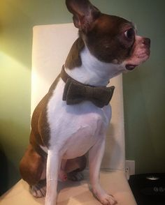 NEBTR Foster Colbie all dressed up for his first day in foster care! #bostonterrier #rescue