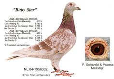 Duiven.net Cute Pigeon, Pigeon Pictures, Homing Pigeons, Chevy Impala, Modern House Design, Bird Feathers, Poultry, Animals And Pets, Bordeaux