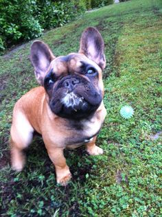 Franzosische Bulldogge So Suss Sind Ihre Welpen Franzosische Bulldogge Pinterest Bulldoggenwelpen Welpen Und Franzosisch