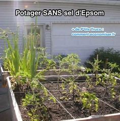 Gardening Tomatoes Handy list of how much epsom salt to use: Garden startup: Sprinkle approximately one cup per 100 square feet. and mix into soil before planting. Tomatoes: Apply one tablespoon per foot of height for each plant every two weeks. Tomato Garden, Vegetable Garden, Organic Gardening, Gardening Tips, Urban Gardening, Plantation, Edible Garden, Lawn And Garden, Garden Trees