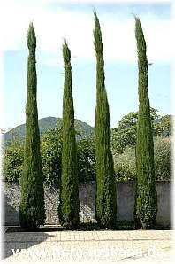 Cupressus sempervirens ´Pyramidalis`/´Stricta` - Mittelmeerzypresse