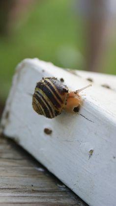 My lovely garden snail.