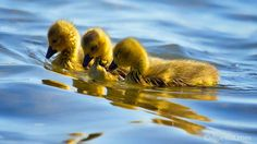 love those cute little goslings! by  DJ Pettitt