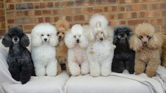 Seven Perfect Poodles sitting in a row...
