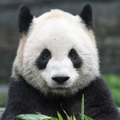 Who's been to The Toronto Zoo this summer to see the pandas?