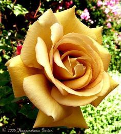 butterscotch rose - I also used to grow these roses...they are absolutely gorgeous, like butterscotch suede This may be my favorite rose of all. Wish I could find one.