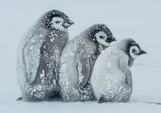 Super-cute penguin chicks huddle up to keep warm in temperatures - Mirror Online All About Penguins, Penguins And Polar Bears, Cute Penguins, Animals And Pets, Baby Animals, Funny Animals, Cute Animals, Beautiful Birds, Animals Beautiful