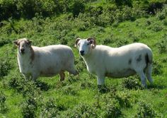 A couple of Welsh Mountain wethers