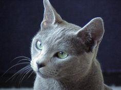 Le chat Bleu de Russie, qui ressemble un peu au chartreux, avec un museau plus long.