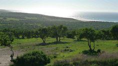 Argan trees growing near the Atlantic Ocean.