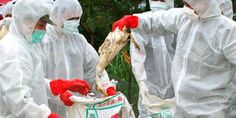 4,500 Birds killed due to avian flu in Bauchi State, Nigeria
