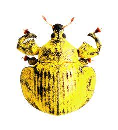 Camarotus sp.