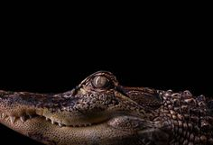 Alligator portrait - part of the Affinity collection by Brad Wilson - The Independent