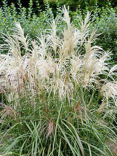 Ornamental grasses identification ornamental grasses pinterest japanese silver grass workwithnaturefo