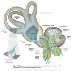 Ear Anatomy, Brain Anatomy, Anatomy And Physiology, Human Anatomy, Body Anatomy, Learning Theory, Cranial Nerves, Medicine Book, Brain Science