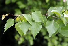Betula pendula (silver birch)