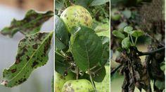 Что делать, если на листьях яблони и груши появились пятна   болезни и вредители