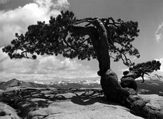 Jeffrey Pine by Ansel Adams