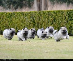 So many fluffies! Keeshond puppies