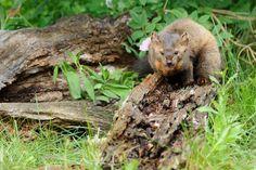 Photo by Jeff Wendorff. American Marten, Pine Marten, Fox, Animals, Animales, Animaux, Foxes, Animal, Animais