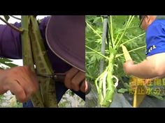 Papaya Farming, Bug Spray For Plants, Cool Watches, Seeds, Gardening, Learning, Abstract, Youtube, Painting