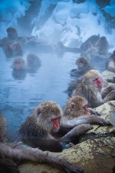 Snow Monkeys ~ Nagano, Japan. I find this really cute cause they are all hurdles up and stuff and just... Cute...