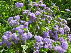 Ageratum at Fernrock Farm.