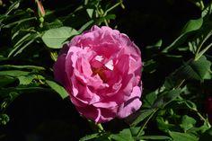 Illan Theresa-ruusu