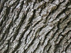 bark: the skin of the most ancient of this earth's living races.