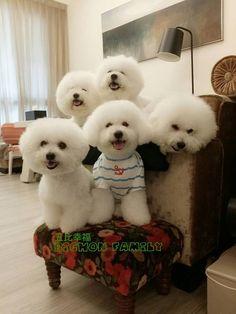 Bichon Frise Dog Family Pose: