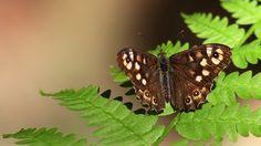 Suomen Perhoset Täpläpapurikko » Suomen Perhoset Forest Plants, Forest Animals, Finland, Butterflies, Nature, Beautiful, Naturaleza, Animaux, Woodland Animals