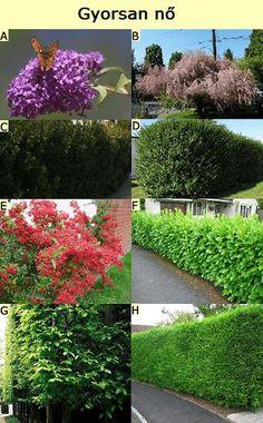 gyorsan növő sövénynövények Hedges, Gardening Tips, Stepping Stones, Terrace, Home And Garden, Landscape, Outdoor Decor, Plants, Inspiration