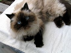 cute Himalayan cat pic