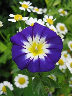 "Convolvulus 'Blue  Ensign' Totally technicolor 2.5"" royal blue flowers with flashy star­burst centers bloom like crazy, creating an awesome show for several months in Summer. An easy & fast way to add thrills to your garden!  Just imagine coming home to these happy little Morning Glory flowers along your front sidewalk or in a pot near your front steps. Instant mood enhancement!"