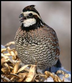 quail / TO ATTRACT ME TO YOUR HABITAT: Plant Black Locust Tree, Crown Vetch Groundcover, Prairie Dropseed, and Hot peppers ( I like the seeds). EXTRA TREATS: Acorn nuts and Sunflower seeds.